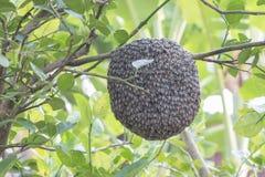 Ciérrese para arriba de abejas en el panal con el árbol de limón Colmenas en un colmenar Foto de archivo libre de regalías