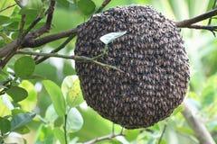 Ciérrese para arriba de abejas en el panal con el árbol de limón Colmenas en un colmenar Imagen de archivo libre de regalías