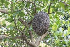 Ciérrese para arriba de abejas en el panal con el árbol de limón Colmenas en un colmenar Fotografía de archivo libre de regalías