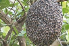 Ciérrese para arriba de abejas en el panal con el árbol de limón Colmenas en un colmenar Fotos de archivo