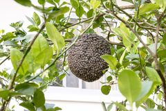 Ciérrese para arriba de abejas en el panal con el árbol de limón Colmenas en un colmenar Imagen de archivo