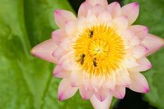 Ciérrese para arriba de abejas, en la flor de loto Imagenes de archivo