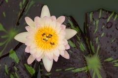 Ciérrese para arriba de abejas, en la flor de loto Fotos de archivo libres de regalías