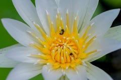 Ciérrese para arriba de abejas hermosas del loto blanco y de la miel en jardín botánico Fotos de archivo