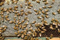 Ciérrese para arriba de abejas de la miel el pulular en el panal de la colmena Fotos de archivo