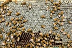 Ciérrese para arriba de abejas ocupadas de la miel en el panal de la colmena Fotos de archivo libres de regalías