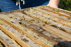 Ciérrese para arriba de abejas de trabajador en caja de madera de la apicultura Imágenes de archivo libres de regalías