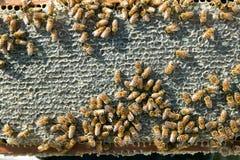 Ciérrese para arriba de abejas de trabajador ocupadas en el panel del panal Fotos de archivo libres de regalías