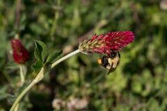 Ciérrese para arriba de abejorro en inclinar la floración del trébol carmesí Imagenes de archivo