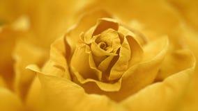 Ciérrese para arriba de abrir la rosa amarilla, rosas amarillas florecientes almacen de metraje de vídeo