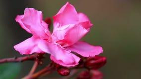Ciérrese para arriba de adelfa rosado metrajes