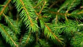 Ciérrese para arriba de agujas verdes del pino foto de archivo