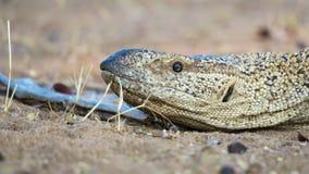 Ciérrese para arriba de albigularis namibianos del varanus del lagarto de monitor de la roca imagen de archivo