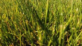 Ciérrese para arriba de alguna hierba común en una ubicación tropical en la última hora de la tarde almacen de video