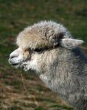 Ciérrese para arriba de alpaca en campo Foto de archivo libre de regalías