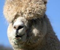 Ciérrese para arriba de alpaca en campo Foto de archivo