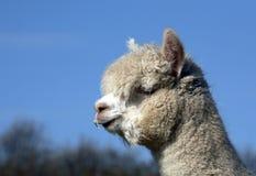 Ciérrese para arriba de alpaca en campo Fotos de archivo