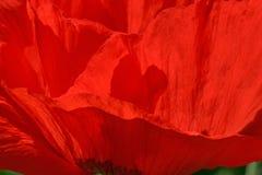 Ciérrese para arriba de amapola roja Foto de archivo libre de regalías