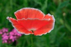 Ciérrese para arriba de amapola rosada Imagenes de archivo