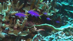 Ciérrese para arriba de anthias púrpuras y amarillos del tuki metrajes