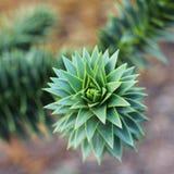 Ciérrese para arriba de araucana de la araucaria Foto de archivo libre de regalías