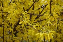 Ciérrese para arriba de arbusto de la forsythia en la plena floración Foto de archivo