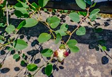 Ciérrese para arriba de arbusto de la alcaparra imagen de archivo