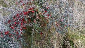 Ciérrese para arriba de arbusto rojo de la baya Imágenes de archivo libres de regalías
