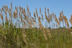 Ciérrese para arriba de avena del mar con la hierba en la duna de arena Imagen de archivo
