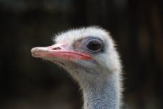 Ciérrese para arriba de avestruz Fotos de archivo