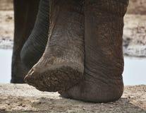 Ciérrese para arriba de bajo de un elefante imagenes de archivo