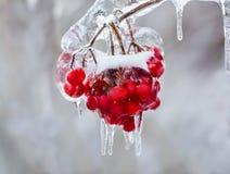 Ciérrese para arriba de bayas rojas congeladas en un árbol Fotografía de archivo