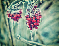 Ciérrese para arriba de bayas rojas congeladas en un árbol - retro Fotografía de archivo