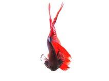 Ciérrese para arriba de betta siamés tailandés de los pescados de la cola que lucha roja hermosa Imagenes de archivo