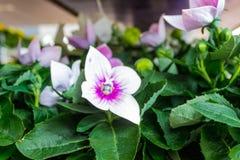 Ciérrese para arriba de blanco y los hibiscos púrpuras florecen con muchos brotes y con las hojas verdes en el fondo en el jardín fotos de archivo