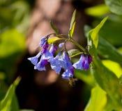 Ciérrese para arriba de bluebells en abril Foto de archivo libre de regalías