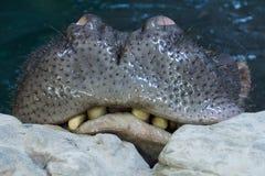 Ciérrese para arriba de boca hambrienta del hipopótamo fotos de archivo libres de regalías