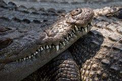 Ciérrese para arriba de boca y de los dientes del cocodrilo del agua salada Imágenes de archivo libres de regalías