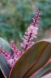 Ciérrese para arriba de bromelia en la floración Foto de archivo