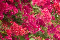Ciérrese para arriba de buganvilla magenta floreciente imagenes de archivo