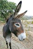 Ciérrese para arriba de burro español con los oídos grandes Fotografía de archivo