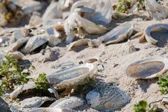 Ciérrese para arriba de cáscaras del olmo en una playa Imágenes de archivo libres de regalías