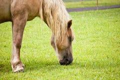 Ciérrese para arriba de caballo Imagen de archivo