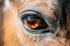 Ciérrese para arriba de caballo de bahía árabe Imágenes de archivo libres de regalías