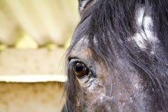 Ciérrese para arriba de caballo de bahía árabe Imagen de archivo libre de regalías