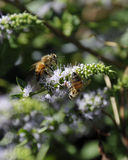 Ciérrese para arriba de California Honey Bees Imagen de archivo