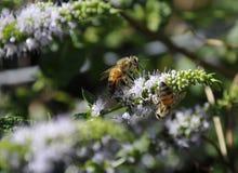Ciérrese para arriba de California Honey Bees Imágenes de archivo libres de regalías