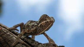 Ciérrese para arriba de camaleón liso contra el cielo azul imagen de archivo libre de regalías