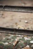 Ciérrese para arriba de camaleón tailandés en la rama Fotos de archivo