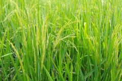 Ciérrese para arriba de campo del arroz Imagenes de archivo